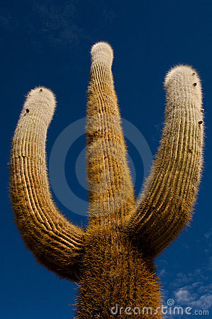 Three arms cactus tree on blue sky