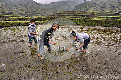 Three Asian girls are busy planting rice Editorial Stock Photo