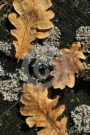 Three autumn oak leaves on old stump with moss