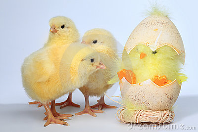 Three baby chick