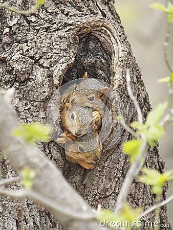 Free Three Baby Fox Squirrels Royalty Free Stock Photo - 19251385