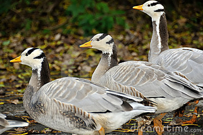 Three bar headed geese
