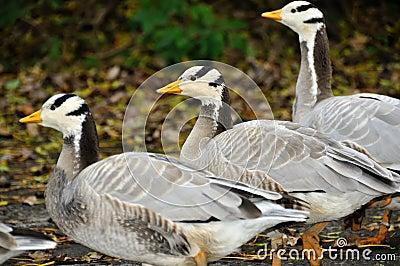 Three bar headed geese