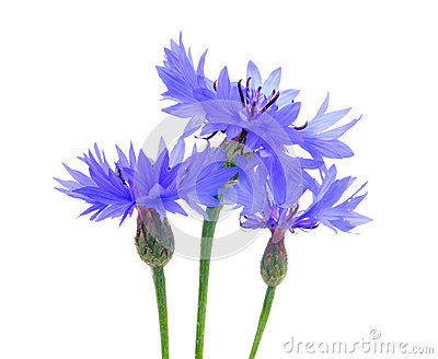 Three Beautiful Blue Cornflowers