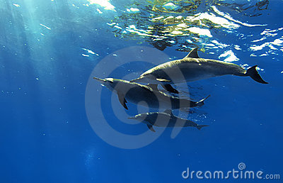 Three beautiful dolphins posing underwater