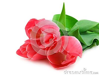 Three beautiful pink tulips