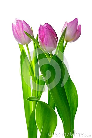 Three beautiful pink tulips on white