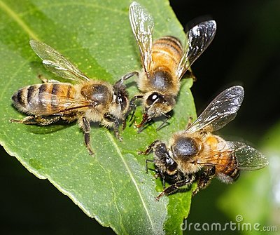Three Bees Feeding and Working Together