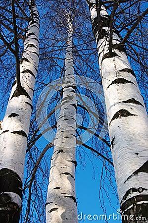 Free Three Birches Stock Image - 1786571