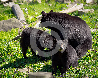 Three Black Bears - Mother and Two Cubs
