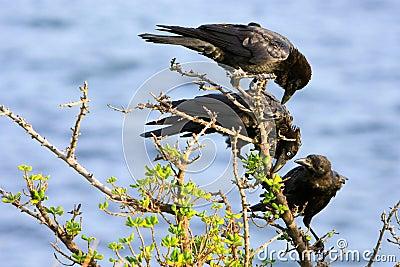 Three black crows on a branch