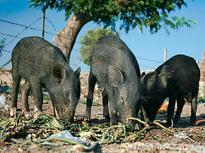 Three black piglets are eating outside