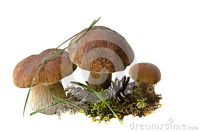 Three Boletus Edulis mushrooms