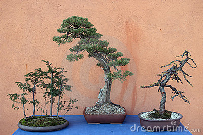 Three bonsai