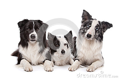 Three border collie