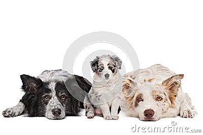 Three border collie dogs