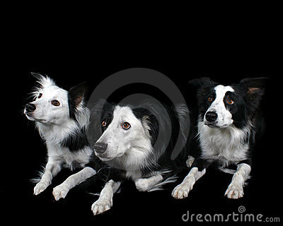 Three Border Collie s