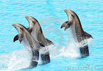 Three bottlenose dolphins ( Tursiops truncatus)