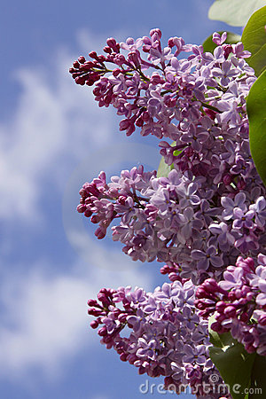 Three branches of lilacs