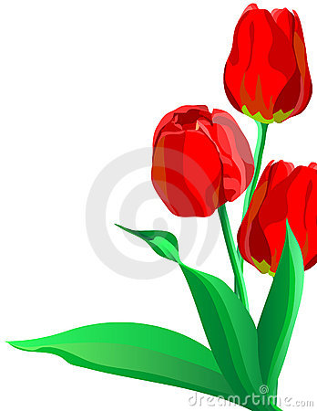 Three bright red flowers tulips with green leaves