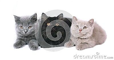 Three British kitten.
