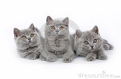 Three British kitten