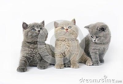 Three British kittens on white