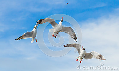 Three Brown headed Gull flying