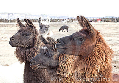 Three Brown Llamas Looking Left