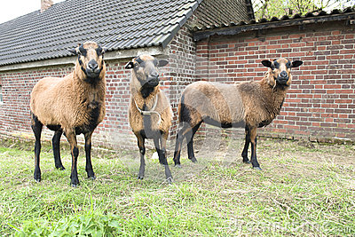 Three brown sheep