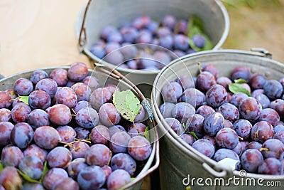 Three bucket of plums in a garden