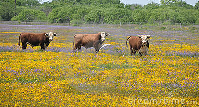 Three bulls in a field of flowers