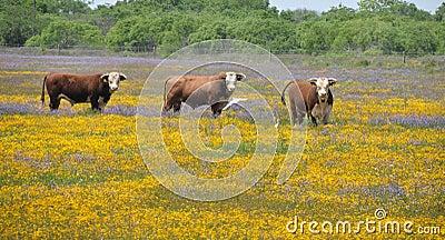 Three bulls in a field of flowers