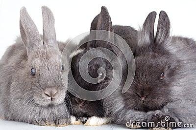 Three bunny, isolated