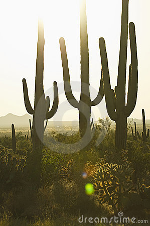 Three cacti at sunset