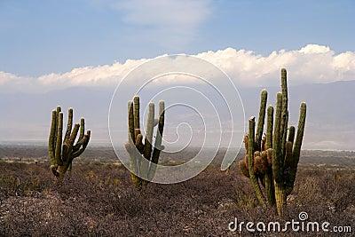 Three cactuses