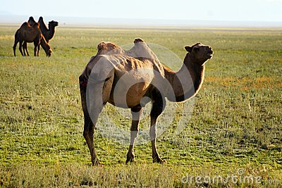 Three camel in mongolia