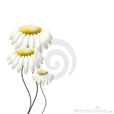 Free Three Camomiles On White Stock Photos - 17316503