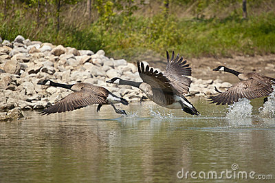 Three Canada Geese Taking Off from a Pond