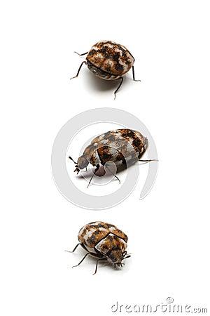 Free Three Carpet Beetles, Isolated On White Royalty Free Stock Photos - 13634328