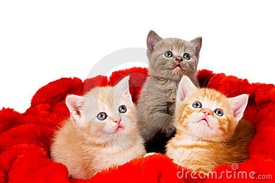 Three cat in velvet