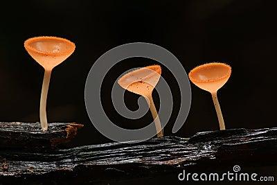 champaign mushroom