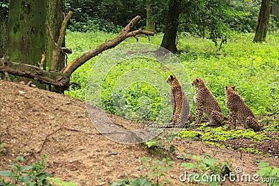 Three cheetah s in green vegetation