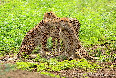 Three cheetah s in green vegetation