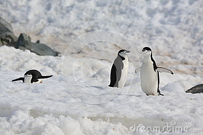 Three Chinstrap penguins in Antarctica