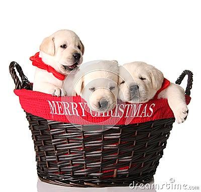 Three Christmas puppies