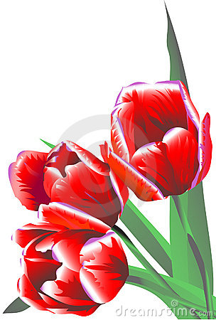 Three claret flowers tulips