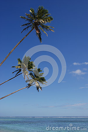 Three Coconut Trees