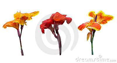 Three color of Canna lily