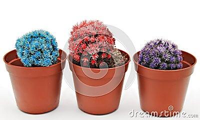 Three colored cactus
